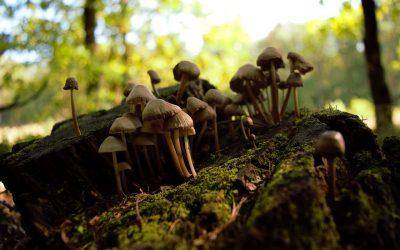 Guide: Using Mushroom Spore Syringes to Grow Magic Mushrooms